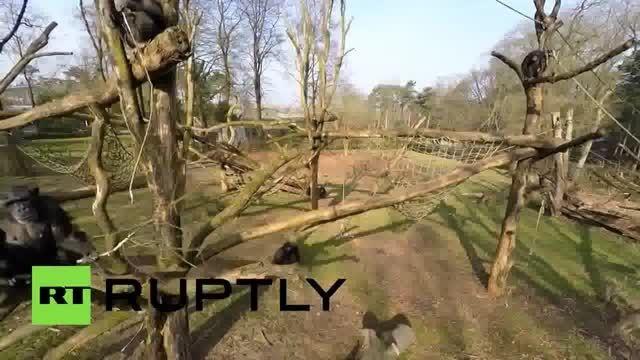 سقوط هواپیمای بدون سرنشین توسط شامپانزه