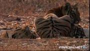 شکار خرس توسط ببرهای ماده (جدید) عالی HD