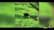 استفاده ابزاری از خوک توسط بز باهوش!