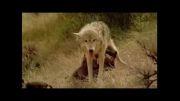 شیرخوارگاه گرگ ها