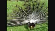 طاووس زیبا(باز کردن پرهای طاووس)