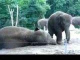 بازی دو فیل با یکدیگر!