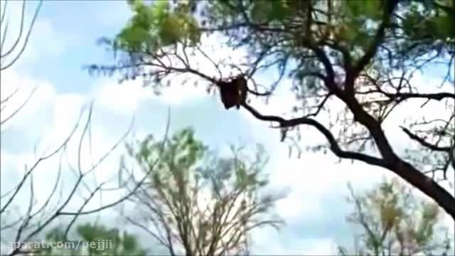 پلنگ در مقابل عقاب در مقابل شیر در مقابل کفتار