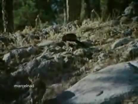 عقاب طلایی و شکارهایش و لرزه ترس بر اندام حیوانات بزرگ