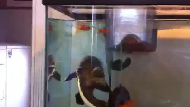 خوردن 20 ماهی گلدفیش توسط گربه ماهی