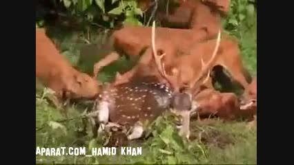 زنده خوردن گوزن هندی توسط سگ های وحشی هندی