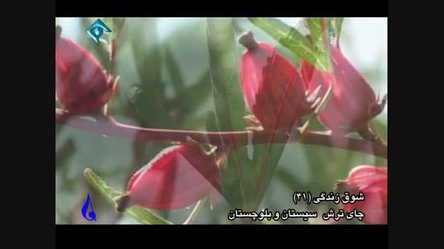 کشت چای ترش در سیستان و بلوچستان