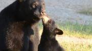 محبت خرس مادر به توله هاش
