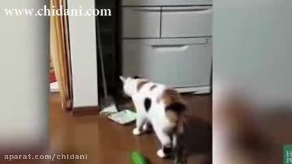 ترس گربه ها از خیار