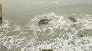 پری دریایی در سواحل، واقعی