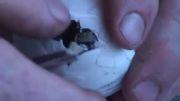 بدنیا آمدن تمساح از تخم (بسیار زیبا)
