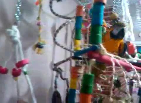 بازی ماکائو آبی طلایی در قفس بزرگش
