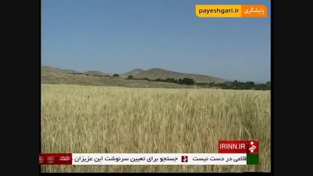 تولید گندم معادل 85 درصد نیاز کشور
