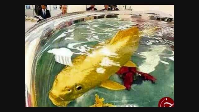 ماهی از جنس طلا توضیحات را حتما بخوانید