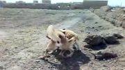 جنگ ساواش سگ سرابی سیدسعیدبا تایبادی