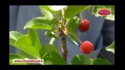 باردهی نهال یکساله آلبالو - استان لرستان