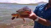 صید و رهاسازی ماهی کپور 6 کیلویی