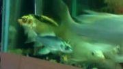 ماهی کوی تازه وارد در آکواریوم من