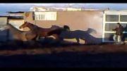 اسب شیرین نیله وشیرین کهر-باشگاه طاووس رفسنجان