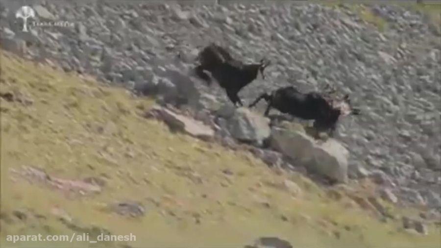 شکار ناموفق عقاب در کوهستان