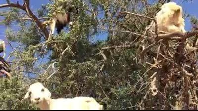 حلق آویز شدن بزها با درخت - شگفت انگیز