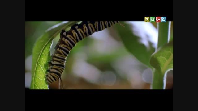 نسیم آفرینش و پروانه در شبکه نسیم