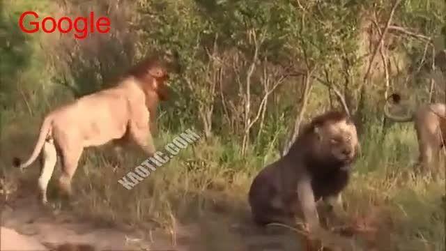 دعوا و درگیری بین شیرها ---بیچاره رو کشتن