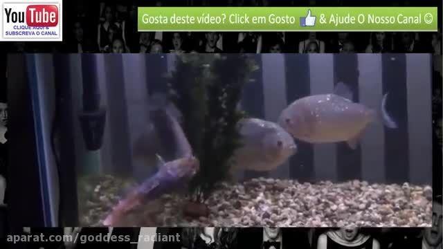 زنده خوردن ماهی توسط ماهی پیرانا