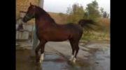 اسب سیمرغ(سیمرغ-مارال) 2