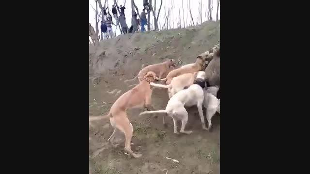حمله سگهای وحشی به گراز خراب کن