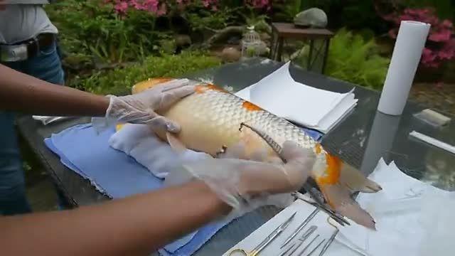 جراحی تومور ماهی کوی