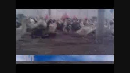 مهرخواه صنعت - سالن پرورش اردک گوشتی