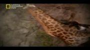 شیر ( مستند شکارچیان ) 3
