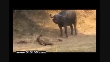 پایان باور نکردنی نبرد شیر با گاومیش