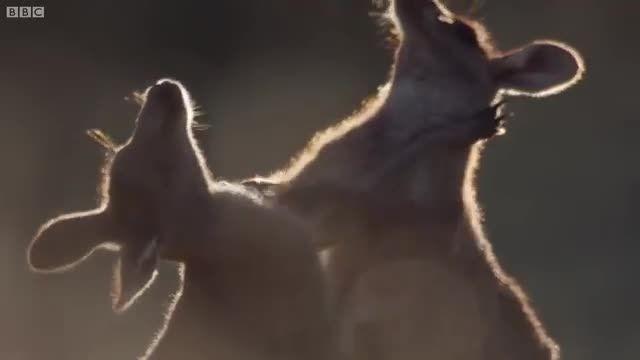 پخش مستقیم مسابقات بوکس از استرالیا-کانگورو VS کانگورو