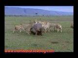 تلاش شیرها برای خوردن اسب آبی