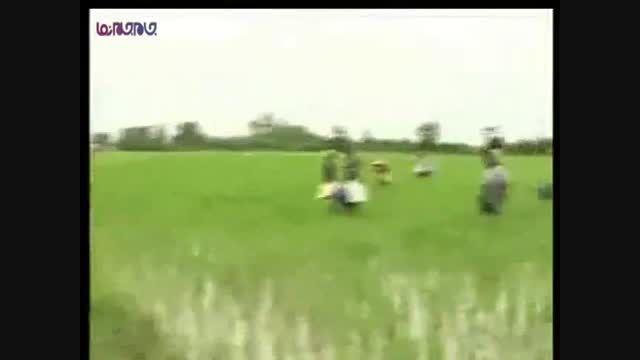 نشاط زنان شالیکار_کار تلاش کوشش+فیلم ویدیو کلیپ برنج