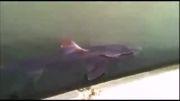 کوسه خسته به رودخانه پناه آورد