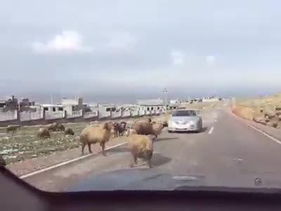 گوسفند خشمگین و داغون کردن ماشین مدل بالا