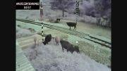 برخورد خونین قطار با گاوها...