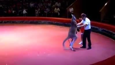 مسابقه بکس کانگورو با قهرمان بکس که کانگورو می ترکونه
