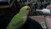 سرلاک خوردن برزیلی کوچیکه (فلفل)