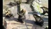خرس هایی که گدایی میکنند!!!بسیار جالب