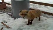 عقاب و روباه در کنار گربه خانگی - زمانی که حیوانات وحشی ازسر