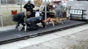 سگ پیت بول(قدرتی داره مثال زدنی!!!!)