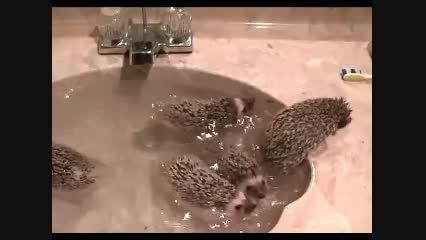 نحوه حمام کردن جوجه تیغی !!