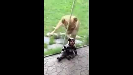 حمله شیر وحشی به کودک دو ساله