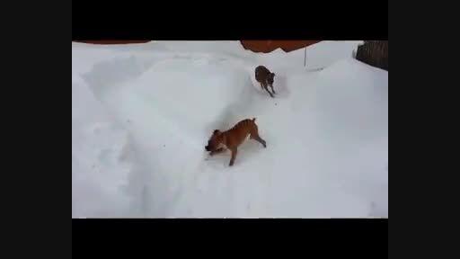 وقتی سگها همدیگر را سرکار می گذارند !