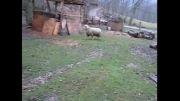 رفتار گوسفندی که با سگها بزرگ شده!