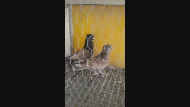 فروش کبوتر ساتن طاووسی
